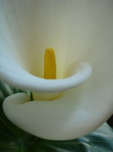 the flowing curves of a calla lily
