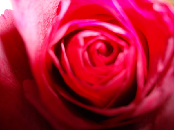 Today I'm thankful that my family is so healthy...this rose was given to me by a man who has had repeated cancer scares.